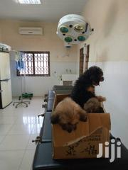 Young Male Purebred Poodle   Dogs & Puppies for sale in Greater Accra, Labadi-Aborm